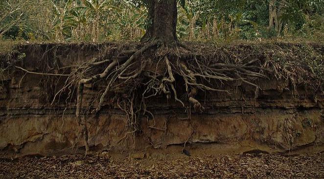Racines d'un arbre dans le sol