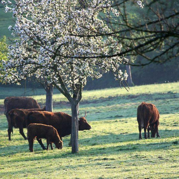 vaches sous un arbre